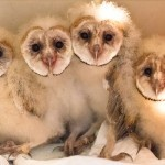 Young Barn Owls...