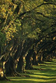 An Avenue Of Oak Tre