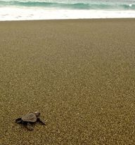 Baby Olive Ridley co