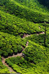 Tea Plantations ~ Ke