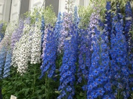 Wonderful delphinium