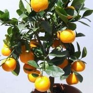 DWARF Citrus Tree Co...