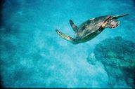 Swim with sea turtle