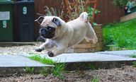 Leaping Baby Pug!