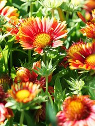 Blanket Flower  A to