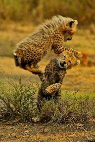 :Cheetah playtime