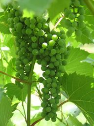 Parley Lake vineyard