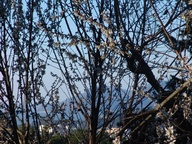 almond blossoms and