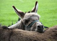 Donkey at Farmleigh