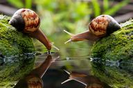 Snails Drinking Wate