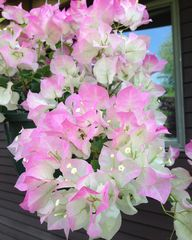 Imperial Bougainvill