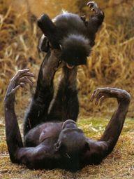 Bonobo monkeys playi