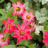 Garden Companion & Pairs Planting