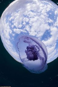 The moon jellyfish d