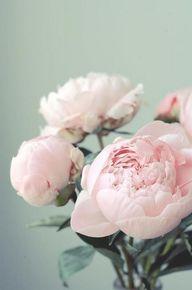 blush peonies #flowe