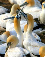 Cape Gannets