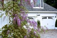 Wisteria in bloom at