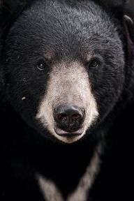 Black Bear  (by Tamb