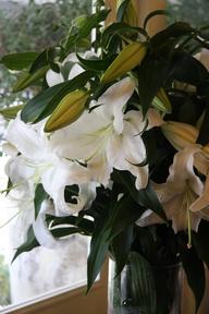 Lilycasablanca Flowers on Oriental Lily Casablanca
