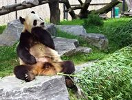 Giant pandas are cla