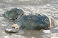 Horseshoe Crabs - Oc