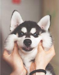 Squishy husky!