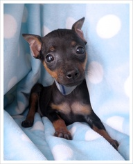 mini pinscher puppy