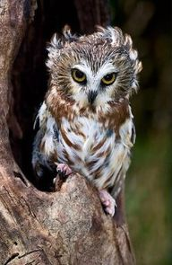 For owl lovers, clic