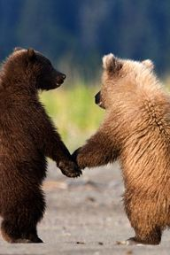 Grizzly Bear Cubs by