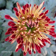Chrysanthemum Festiv