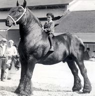 percheron--now that'