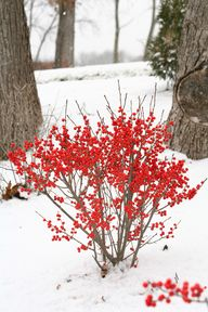 Shrubs with Winter I