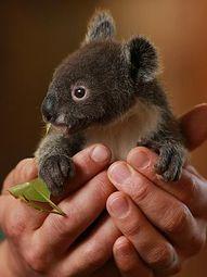 Archer the koala / P