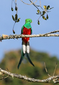 £Resplendent Quetzal