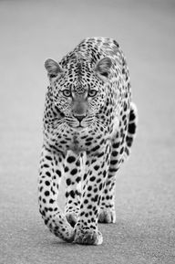 (via Loping Leopard