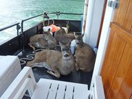 Deer rescued from ic