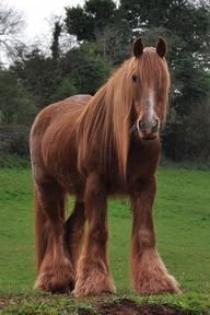 (Red shire horse in