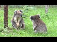 Two koalas having an