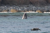 A Gray Whale as seen