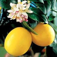 Lemon Trees