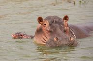 Hippos are among the