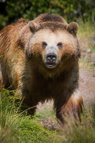 Grizzly Approach by