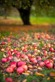 Apples in The Fall
