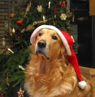 Santa golden! #dog