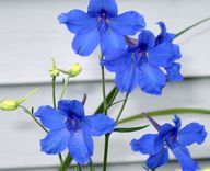 Blue Flowers www.fig