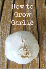 Growing Garlic ~ eas