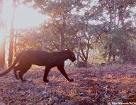 Camera trap image of
