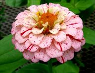 Zinnia 'Peppermint S