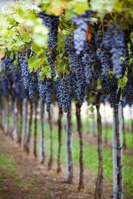 Grapes - not sure wh