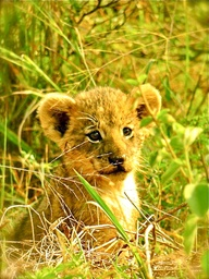 A small wild lion cu